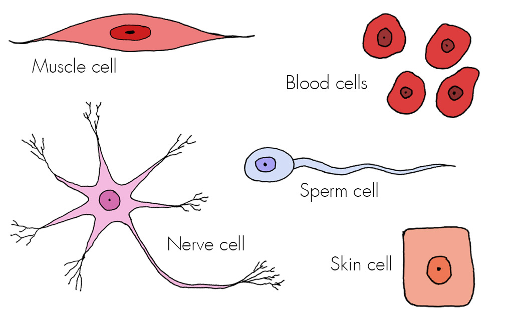 cells - haleo, Human Body