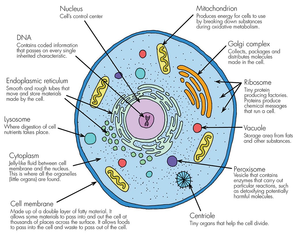 Plant Cells Labelled Diagram Guide And Troubleshooting Of Wiring Simple Animal Cell Labeled Haleo Black White
